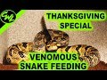 Thanksgiving Special! (Venomous Snake Feeding)