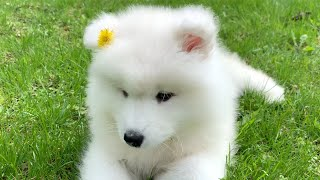 Puppy Samoyed that whined only on the first day of adoption