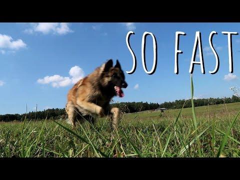 Dog Runs 100 metres faster than Usain Bolt | Belgian Shepherd Tervuren