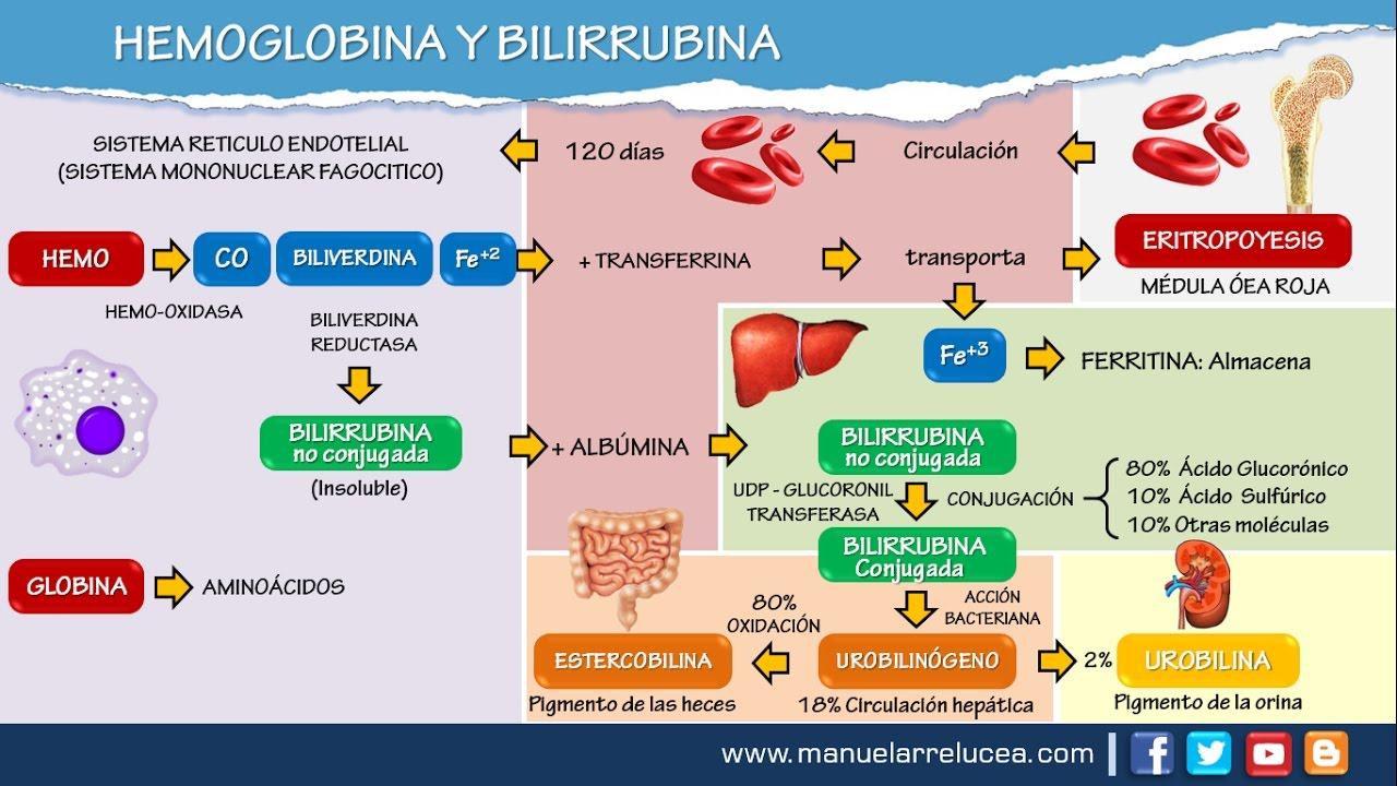 METABOLISMO DE LA HEMOGLOBINA Y BILIRRUBINA - YouTube
