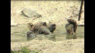 Yıl 1998: Türkiye'de zorla oynatılan ayılar artık özgür