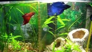 Петушок, или бойцовая рыбка. два петушка за перегородкой