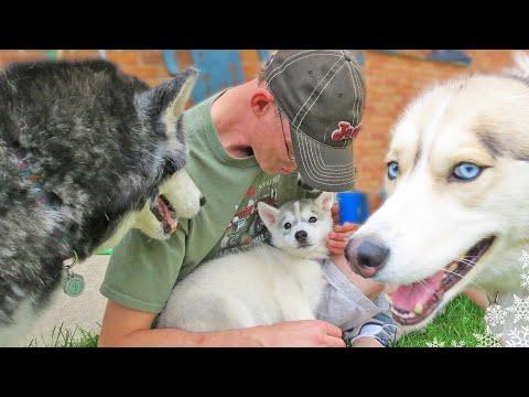 Puppy Memphis meets Shelby and Oakley Siberian Husky