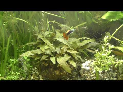 Криптокорина беккета петча (Аквариумные растения) 1