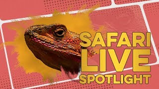 A Saurian Salute to Agamas this World Lizard Day