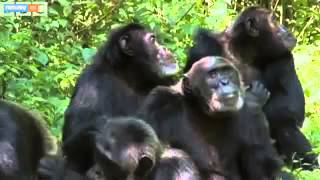 Chimp Violence Study Renews Debate On Why They Kill