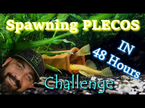Spawing Bristlenose Plecos In Less Than 48 Hours CHALLENGE