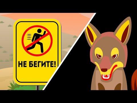 Что делать, если столкнулись с койотом