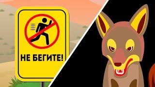 Что делать если столкнулись с койотом
