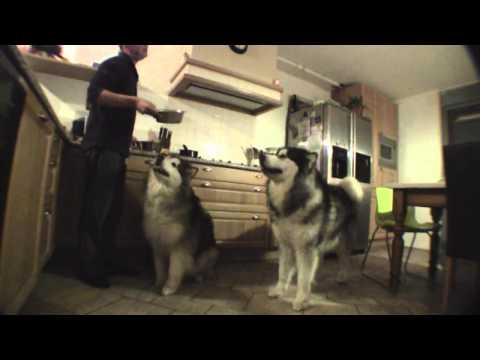 Feeding two Alaskan Malamutes