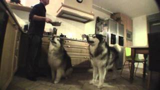 Feeding two Alaskan Malamutes