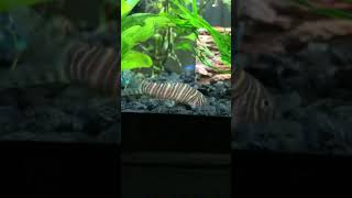 Zebra Loaches Quick Care
