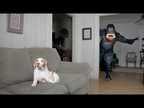 Dog Pranked by Dancing Gorilla: Funny Dog Maymo