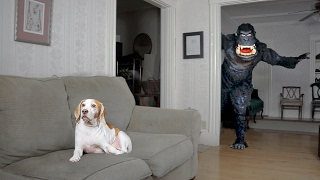 Dog Pranked by Dancing Gorilla: Funny Dog Maymo