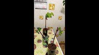 Виноград.Болеют саженцы винограда, трипсы и хлороз на листе винограда.