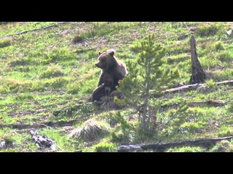 Yellowstone Grizzly Cubs at Play and Feeding