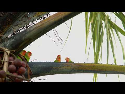 KEHIDUPAN LOVE BIRD DI ALAM LIAR Lucu gemesin