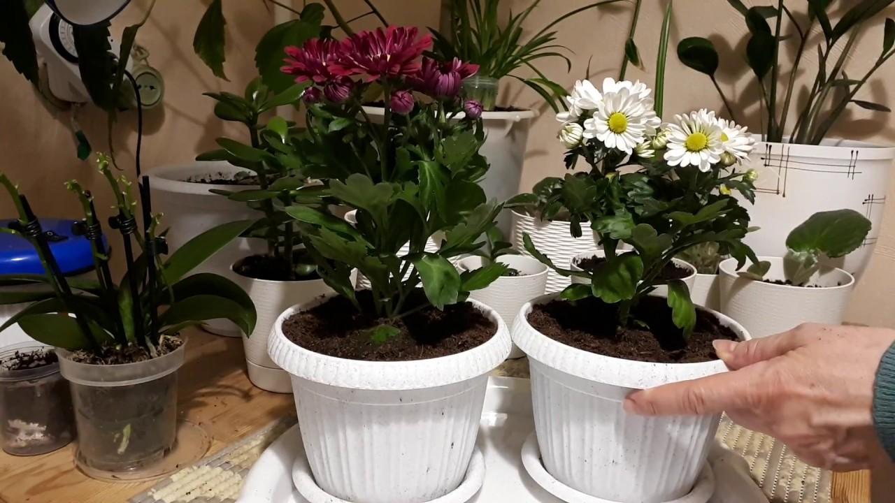 как пересадить домашнюю хризантему