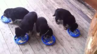Кормление щенков в месяц