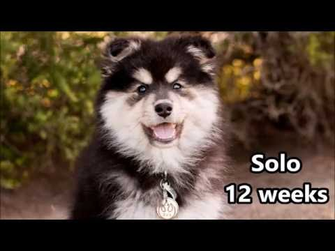 Solo - Finnish Lapphund - Training - 12 weeks