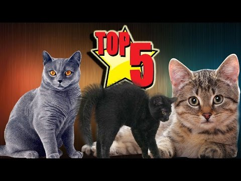 Top 5 Biggest Domestic Cats Which Look Like Giant Cats.