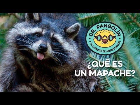 ¿Qué es un mapache? - Dr. Pangolín y su Ejército de Animalitosbebé