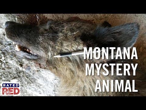 Montana Rancher Kills Mystery Wolf-Like Animal