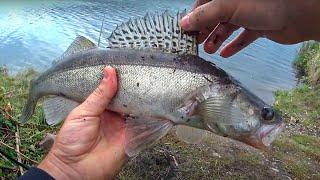 Ловля СУДАКА на донки. Осенняя рыбалка | zandartu cope Lielupē