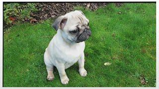 Meet Darcie The Pug | Moretdm