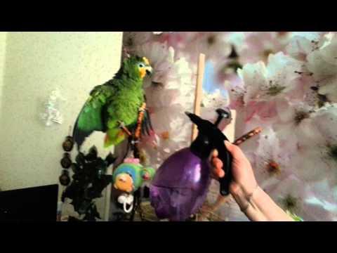 видео: Амазонский попугай Гриня