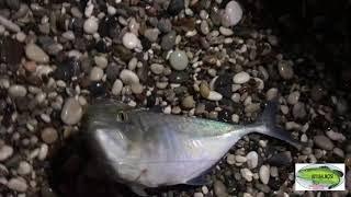 Tral  Balığı Avı (Caranx crysos)