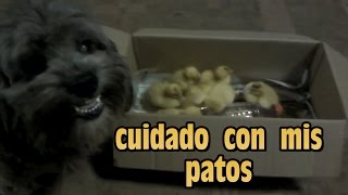 Shihtzu Puppy Playing And Caring Ford Ducks / Shihtzu Cachorro  Cuida Sus Patos