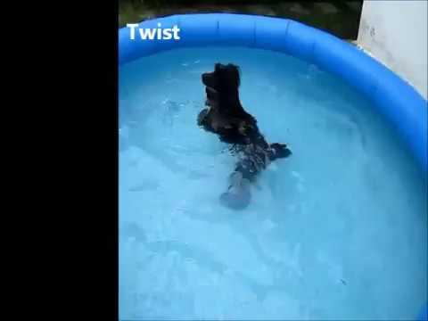 Miniature Poodle Tricks Swimming Pool 2012 Youtube
