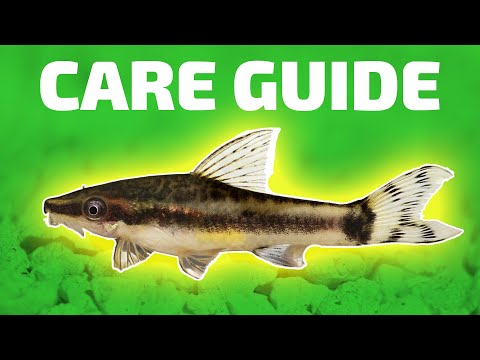 Otocinclus Catfish Care Guide - Otocinclus Vittatus - Best Nano Algae Eater. Great For Brown Algae.