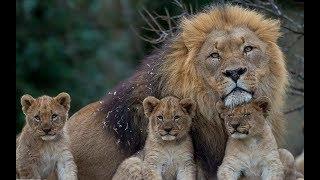 Lion Documentary HD 720p Nat Geo Documentaries New