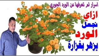 كيف تجعل زهور الورد الجوري تزهر عندك بغزاره طول الوقت. ما هو الفرق بين القص الخماسي والقص الثلاثي؟