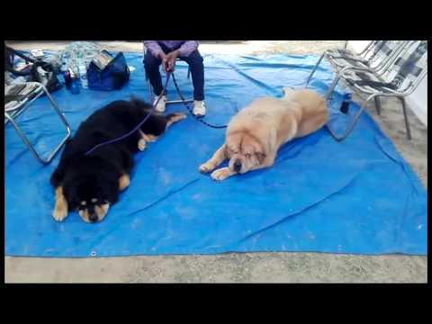 Dog Show Patiala Feb,2018