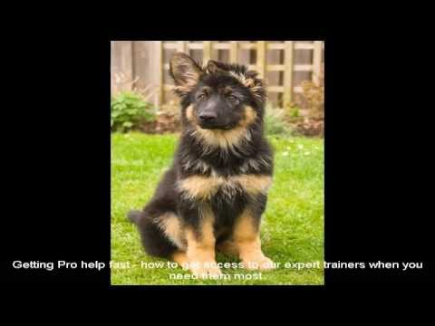 German Shepherd Puppies Mn Place Youtube