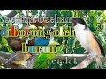 Cendet Gacor Isian Variasi Kicau Ocehan  Mp3 - Mp4 Download