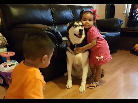 Siberian Husky Dog Loves Toddlers