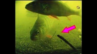 Поклевки Под Водой на удочку с боковым кивком и поплавочную удочку. Рыбалка. Подводная съемка(Поклевки Под Водой на удочку с боковым кивком и поплавочную удочку. Прозрачность воды около 20-25см, глубина..., 2016-05-21T13:01:41.000Z)