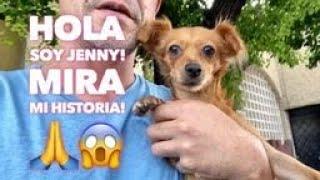 ¿Qué le paso a Jenny¡? Todos quieren saber! Aquí esta la respuesta. #viraldog #lovedogs #adopta