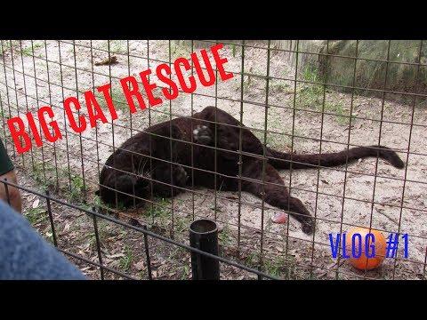 Vlog #1 | Big Cat Rescue: Tampa, FL