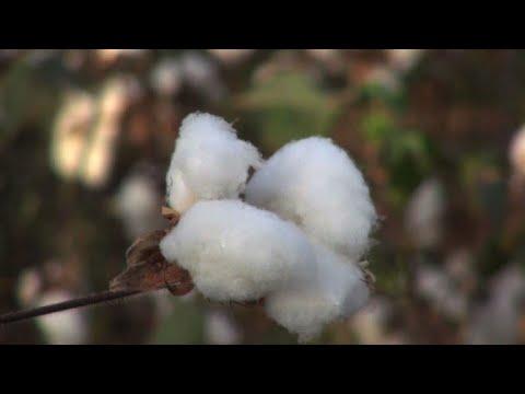 afpbr: Mali: o maior produtor de algodão da África