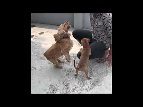 Siri the pitbull puppy playing cocker spaniel dog | Pitbull Puppy | Pitbull dog | Karnataka dogs