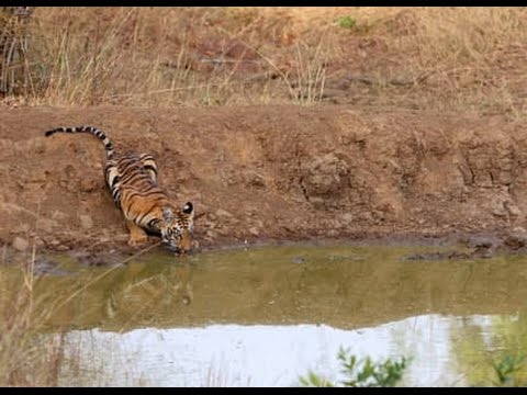 TIGER IN PEECHI DAM KERALA