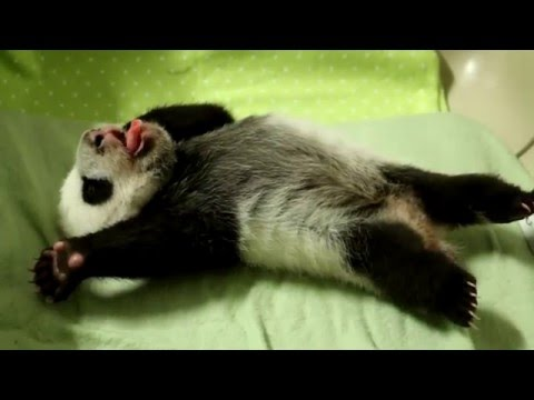 Toronto Zoo Giant Panda Cub at 8 Weeks Old