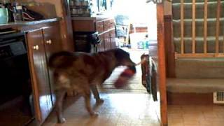 Trained Dog Cleans The House