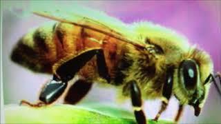 Популяция пчел 1  Кавказская пчела