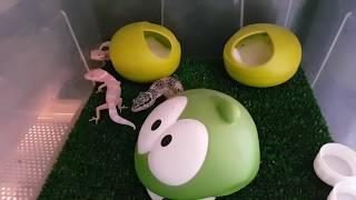 Устройство домика для маленьких гекконов эублефаров. Про выставку рептилий